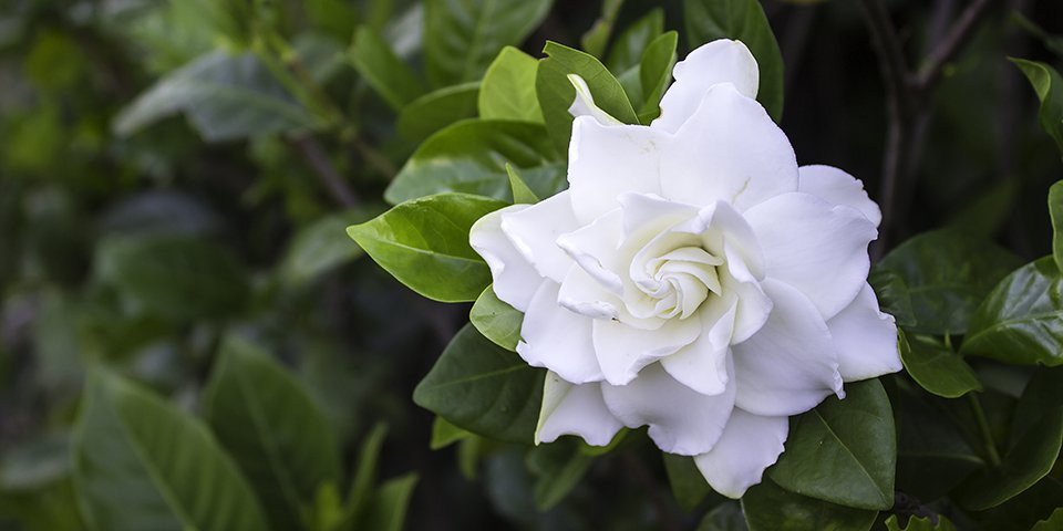 gardenias para san valentin