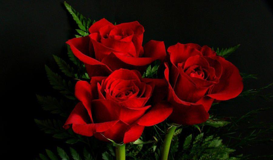 rosas rojas imagen